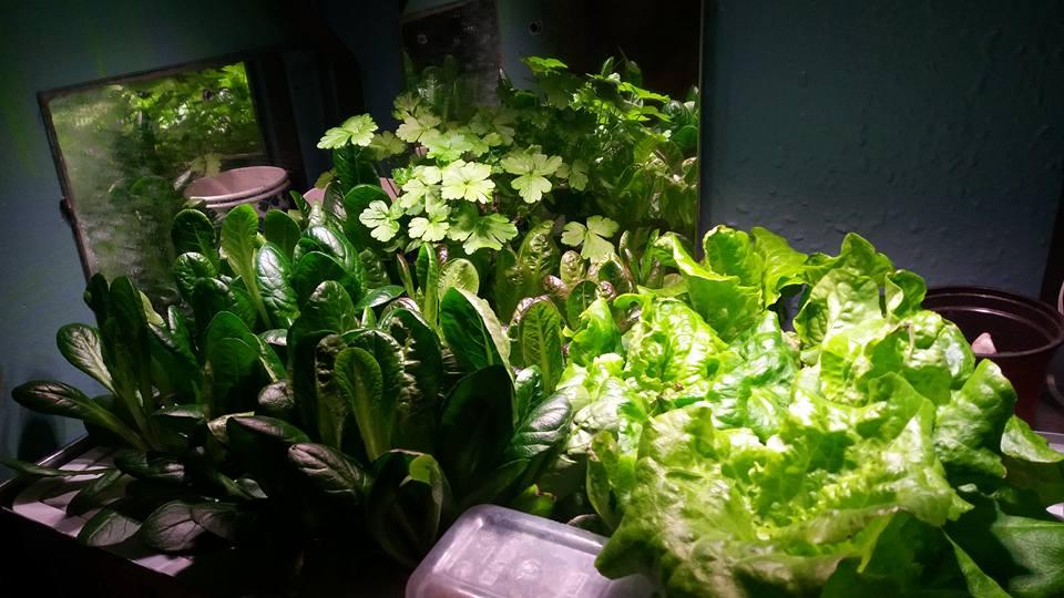 Crispy lettuce/red romaine lettuce green romaine lettuce